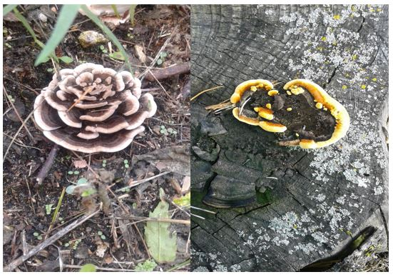 Possibly Turkey-tail polypores (Trametes versicolor) and/r Dye Polypore (Phaeolus schweinitzii) (EL 2016)