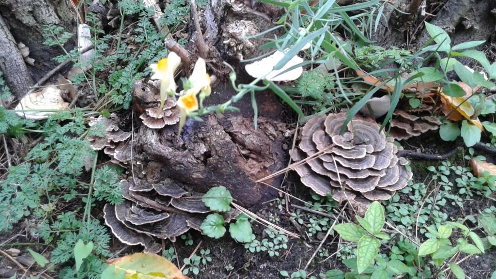Mushroom 13