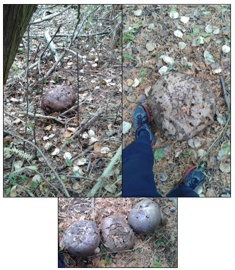 Large puffballs, speculated to be the Purple-spored puffball (Calvatia cyathiformis). My 30cm shoe is shown beside two of them as a comparison of size. Saw 10 or more of these in the middle of the forest behind UTSC.(EL 2016)