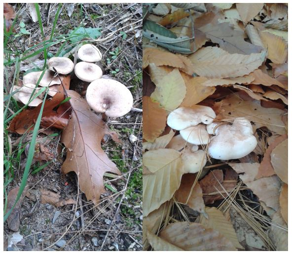 Unidentified gilled mushrooms (EL 2016)